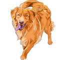 Vector sketch hilarious funny dog breed nova scoti smiling staying red gun scotia duck tolling retriever toller Royalty Free Stock Image