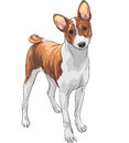 Vector sketch hunting dog basenji breed color of the Royalty Free Stock Photography