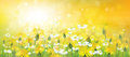 Vector of spring background with yellow chamomiles Royalty Free Stock Photo