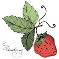 Vector Strawberry fruits. Green leaf. Red and green engraved ink art. Isolated strawberry illustration element. Royalty Free Stock Photo
