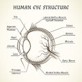 Vector structure of the human eye Royalty Free Stock Photo