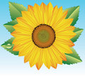 Vector sunflower Royalty Free Stock Photography