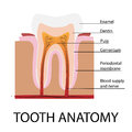 Vector tooth anatomy Royalty Free Stock Photo