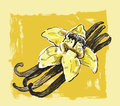 Vector vanilla flower hand drawn picture of Stock Images