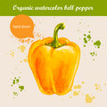 Vector watercolor hand drawn yellow bell pepper with watercolor drops. Royalty Free Stock Photo
