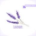 Vector watercolor lavender.