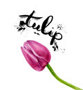 Vector watercolor painting Tulips. Pink isolated Tulip on white background