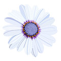 Vector white daisy flower isolated on background Royalty Free Stock Image