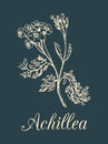 Vector yarrow illustration. Hand drawn Achillea sketch. Milfoil plant background. Officinalis, cosmetic herb label etc.