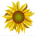 Vector yellow beautiful sunflower Stock Photography