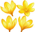 Vector yellow crocuses Stock Photography