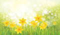 Vector yellow daffodil flowers. Royalty Free Stock Photo