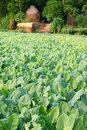 Vegetable field of german turnip rural Stock Image