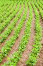 Vegetable field rows of fresh in a Stock Images