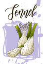 Vegetable food banner. Fennel sketch. Organic food poster. Vector illustration