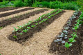 Vegetable garden Royalty Free Stock Image