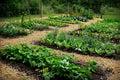 Photo : Vegetable Garden green  spring
