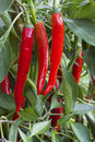 In vegetable garden grows bush with pepper the red Stock Photo