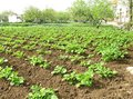 Vegetable in a garden potatoes growing an allotment of house Royalty Free Stock Image