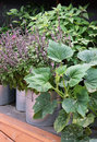 Vegetable Garden in pots and large containers. Royalty Free Stock Photo