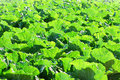 Vegetable leaf with fresh sunlight. Royalty Free Stock Image