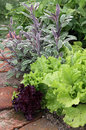 Vegetable mix on garden bed plants salad lettuce bean and sage the Stock Photo