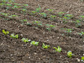 Vegetable plot plants in lines fine tilth salad crops just planted out Stock Image