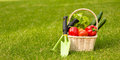 Vegetables in basket and garden tools on green grass Royalty Free Stock Photo