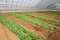 Vegetables in greenhouse Royalty Free Stock Photo