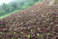 Vegetables grown on the slopes kinds of vegetable seedlings hillside Royalty Free Stock Photography