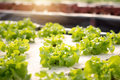 Vegetables hydroponics. Hydroponics method of growing plants Royalty Free Stock Photo