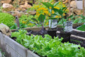 Vegetables plants in patch Royalty Free Stock Photo