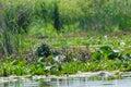 Vegetation In Danube Delta