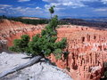 Vegetation on the rim of Bryce Canyon Royalty Free Stock Photo