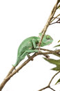 Veil Chameleon lizard isolated on white Royalty Free Stock Photo