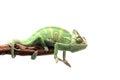 Veiled Chameleon isolated on white background Royalty Free Stock Photo