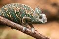A Veiled Chameleon Lizard