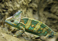 Veiled chameleon from yemen, united arab emirates Royalty Free Stock Photo