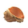 Veined rapa whelk isolated image of Stock Photos