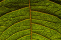 Veins on green leaf Royalty Free Stock Photo