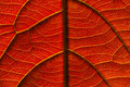 Veins of a leaf Royalty Free Stock Photo
