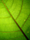 Veiny green leaf macro Stock Photos