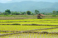 Veiw of field thailand beauty nature rice and hut in Stock Photography