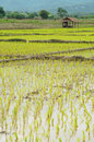 Veiw of rice field thailand beauty nature and hut in Stock Image