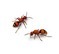Velvet ant timulla euterpe on a white background Stock Photos