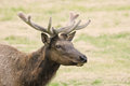 Velvet Elk Royalty Free Stock Photo
