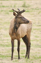 Velvet Elk Royalty Free Stock Images