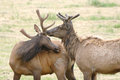 Velvet Elk Royalty Free Stock Photography