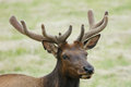 Velvet Elk Stock Photography
