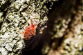Velvet Mite Stock Photography